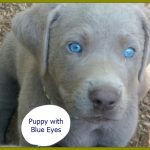 Puppy image with blue eyes