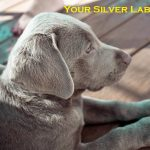 Silver Lab | Labrador Puppies to Full Grown Guide 2020