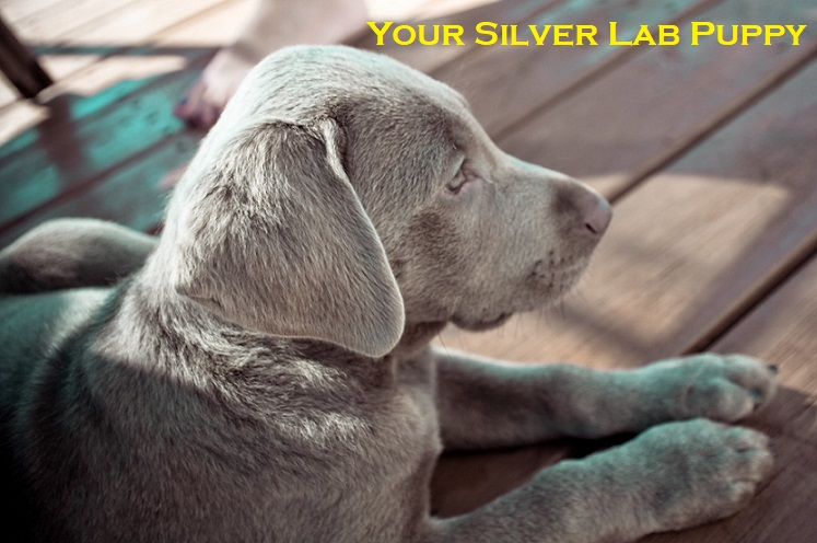 Silver Lab Puppies Image