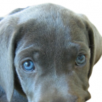 What is a Silver Labrador Retriever-How to get a dog