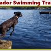 Silver Lab Swimming Training