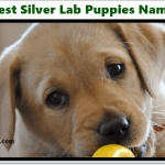 Silver Lab Names in 2020 - Labrador Puppies Name [Free File]