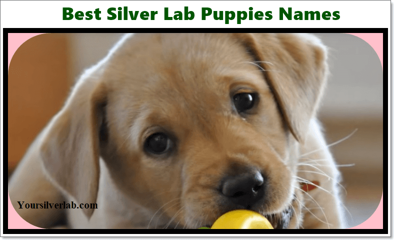 Silver Lab Names in 2019 - Labrador Puppies Name [Free Download]