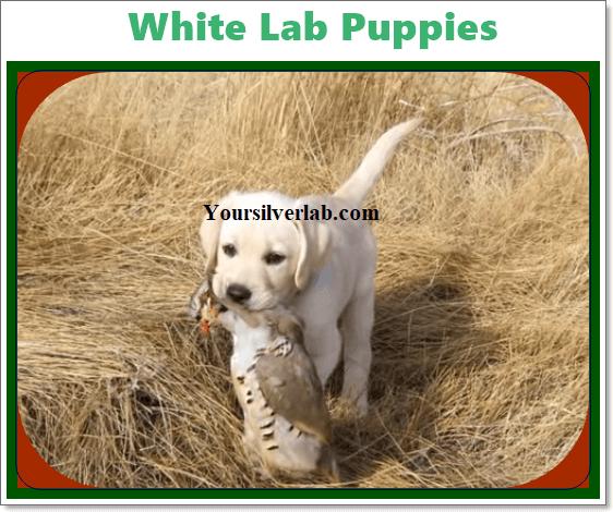 Lab Puppies, Labrador Puppies
