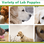 Silver Lab vs Yellow Lab Puppies, Genetic Study, and Trends in 2020