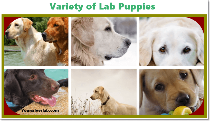 Lab names, Labrador Retrievers