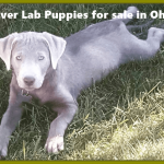 Silver Lab Puppies for sale in Ohio - Labrador Puppies [12 Best Breeders]