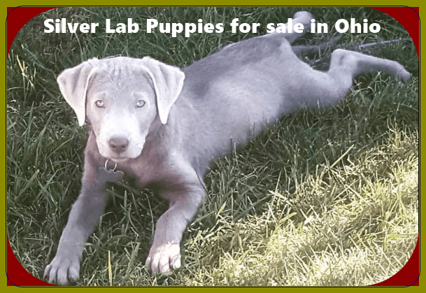 Silver Lab Puppies for sale in Ohio - Labrador Puppies [12