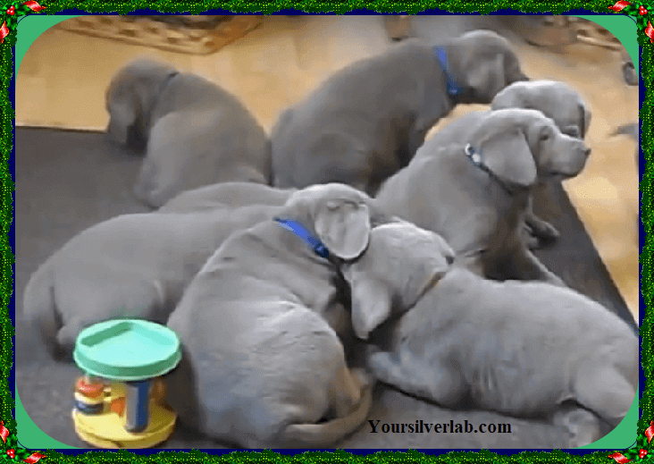 Silver Lab puppies for sale PA