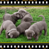 Silver Lab puppies for sale in PA