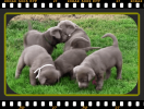 Silver Lab puppies PA