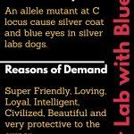 Silver lab puppies for sale in Washington-Best Labrador Breeders