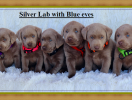 Silver Lab with Blue eyes 0001
