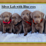 Silver Lab Puppies | Charcoal lab History, Images, Traits and Sale Price