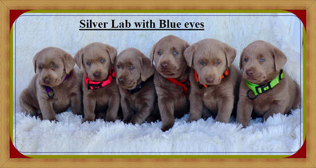 Silver Lab Puppies with Blue eyes