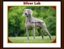 silver lab AKC Registration
