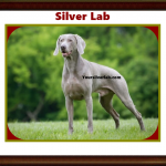 Silver Lab AKC – Weimaraner, Labrador Retriever Puppies Open Talk 2021
