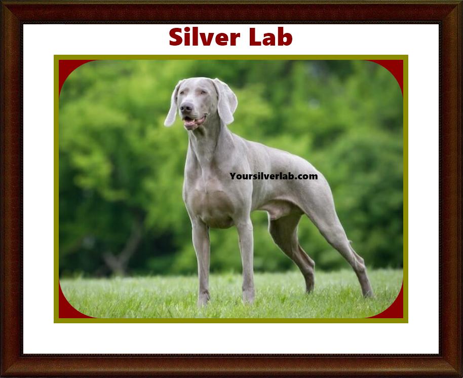silver lab AKC 01