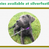 Silver Lab Puppies