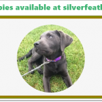 Silver lab puppies for sale | Top Seven Silver Lab Breeders