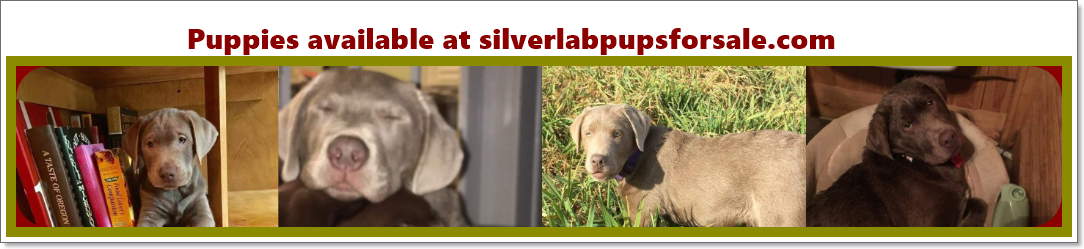 Silver Lab Pupps