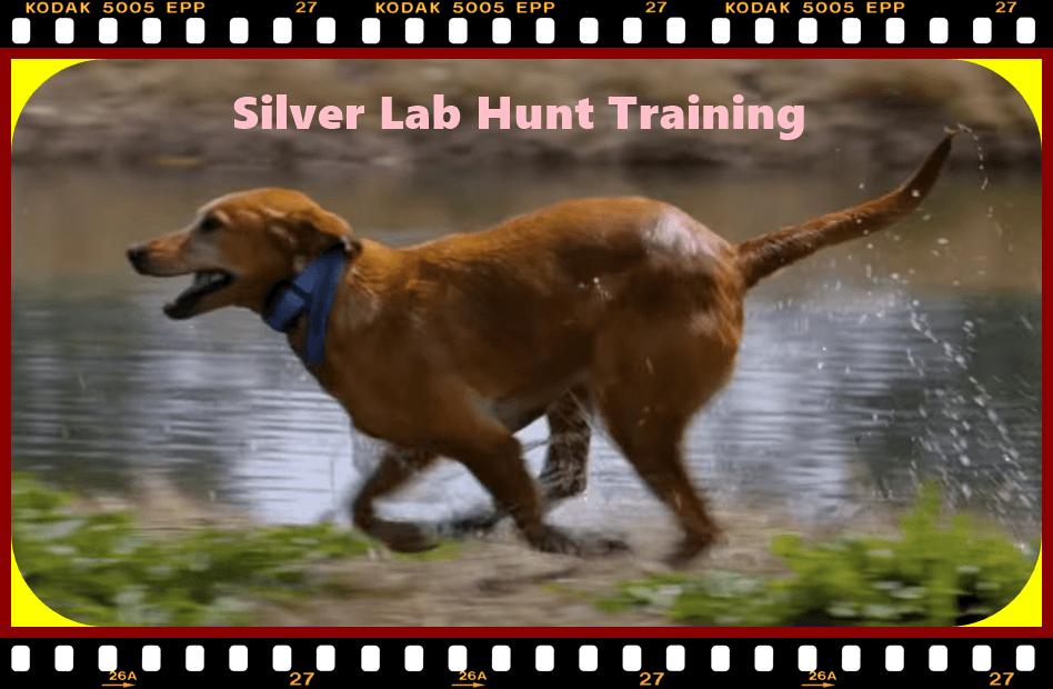 Silver Lab Hunting 01, Golden Retriever and Weimaraner dog breeds
