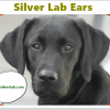 Silver Lab Ears. infections, reasons and treatment