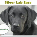 Silver Lab Ears | Shape, Infections, Prevention, and Treatment