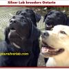 Silver Lab breeders Ontario 2020