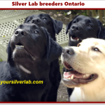 Silver Lab Breeders Ontario in 2020 | Golden and Silver Labrador Sale