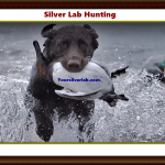 Silver Lab Hunting | Golden Retriever, Weimaraner & Labrador Puppies