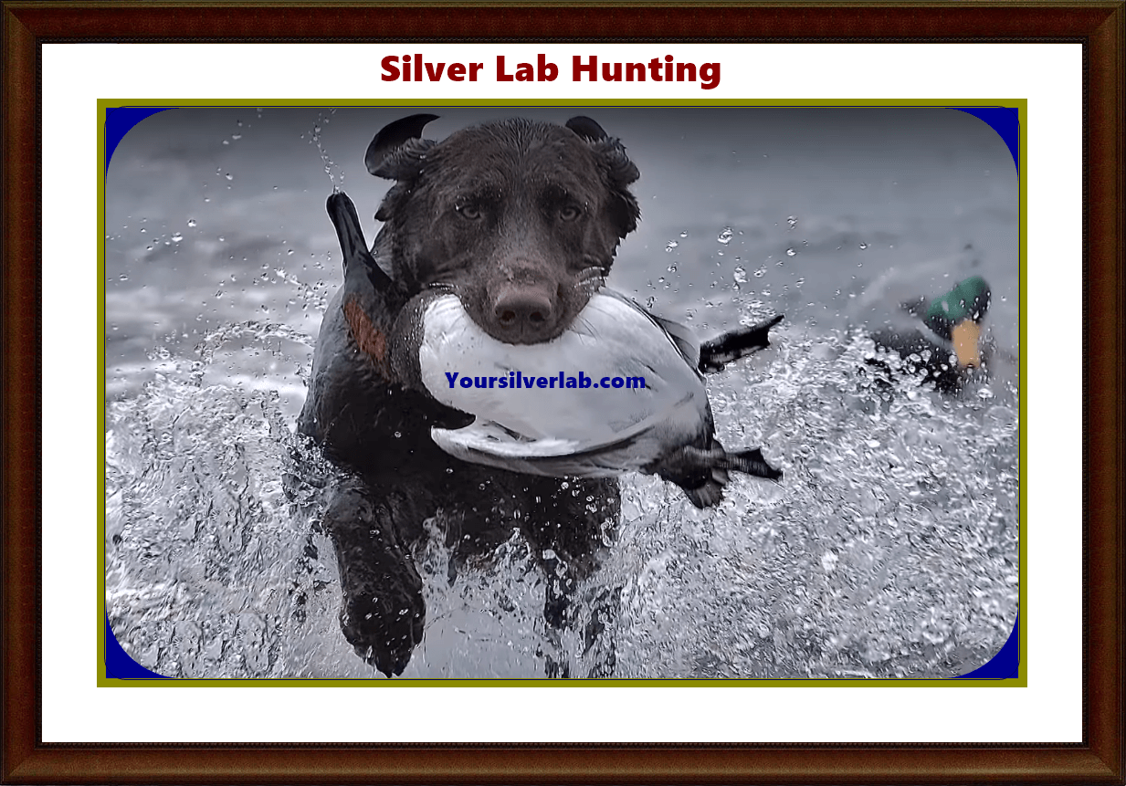 Silver Lab Hunting, Golden Retriever and Weimaraner