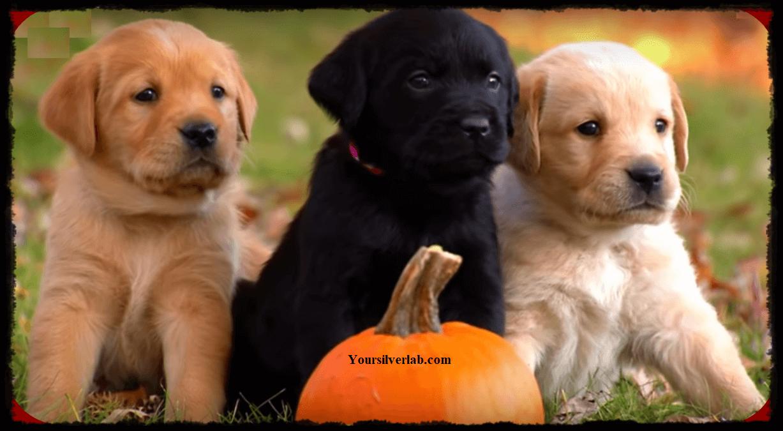 Silver Labrador retriever, golden retriever and chocolate retriever