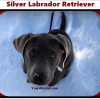 Silver Labrador retriever, golden retriever and chocolate retriever