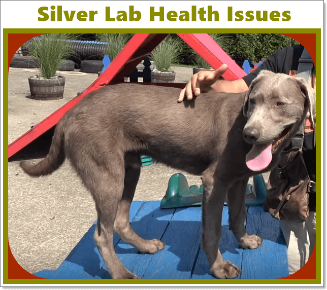 silver lab health issues, ear problem and hip joints issue