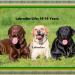 Silver Lab Life Span | Labrador Puppies and Golden Retrievers 2021