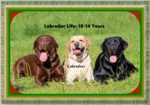Silver Lab vs Black Lab