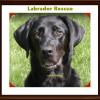 Silver Lab Rescue 2020