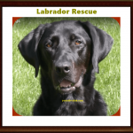 Silver Lab Rescue and Labrador Retriever Adoption in 2021