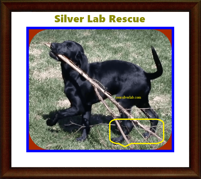Silver Lab Rescue Methods