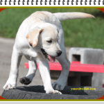 How much do yellow labs cost-Tips to buy a perfect Labrador 2021