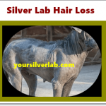 Silver Lab Hair Loss