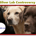 Silver Lab Controversy in 2021 and AKC Declaration