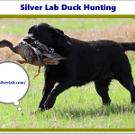 Silver Lab Duck Hunting in 2020 - History & AKC Hunt Test