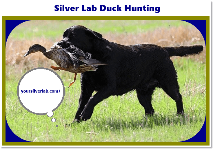 Silver Lab Duck Hunting Information