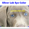 Silver lab eye color