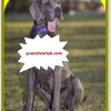 Silver Lab Great Dane Mix Dog