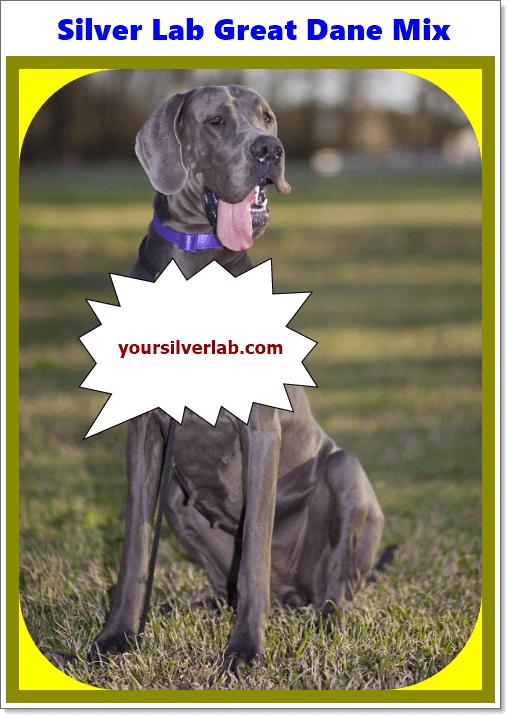 Silver Lab Great Dane Mix Dog