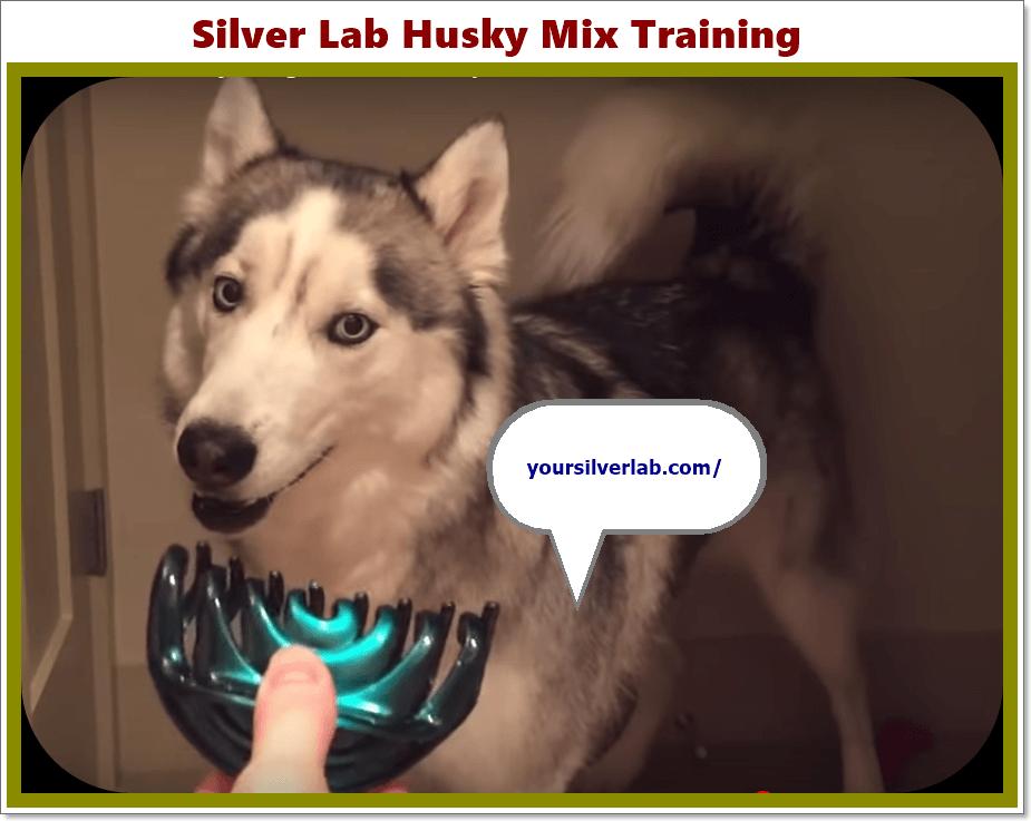 Silver Lab Husky Mix