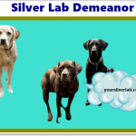 Silver Lab Demeanor, Qualities, Temperament and Skills Review 2020